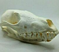 1 Pcs Real Snow Fox skull / Real animal skull / Real bone / New/ craft