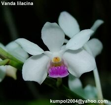 Orchid specie seeds: Vanda lilacina - Year 2017