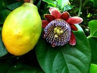 Passiflora alata Wing Stem Passion Flower,houseplant/patio climber, Edible