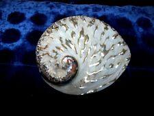 "Polished Midae Abalone 4 to 5"" Sea Shell Beach Decor Craft Reef Tro[Ical"