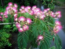 Mimosa tree (30 seeds) fresh this season's harvest from my garden