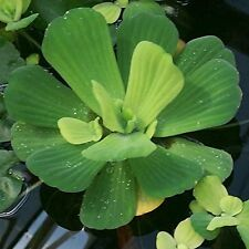 6 Plants 3 Water Lettuce 3 Water Hyacinth Floating Pond Plants