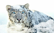 Framed Print - Snow Leopard Hunting in the Wilds of Tibet (Picture Poster Animal