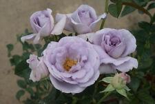 Floribunda Rose 'Blue Bajou' - 5 fresh cuttings- rare and unusual