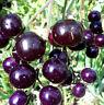 """TOMATE MINI  """"Blue Pearl""""  lila-schwarz CHERRY-Tomate,würzig,süß Cocktail"""