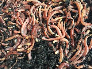 Tauwurm Dendrobena Rotwurm Lebendköder versch. Sorten ab 0,05€/St. frisch DHL