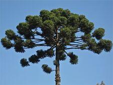 1 x Araucaria Angustifolia - Parana Pine - 25/30cm