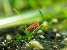 New listing 10+1 Live Super Red Cherry Shrimp, Neocardina