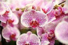 20 Pink White Spot Phalaenopsis Moth Orchid Flower Seed Organically & USA Grown