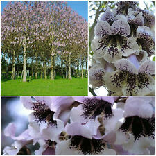 100 Samen Paulownia catalpifolia, Paulonia catalpifolia G
