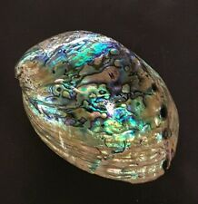 13cm New Zealand Polished Rainbow Abalone Paua Shell DIY Jewellery