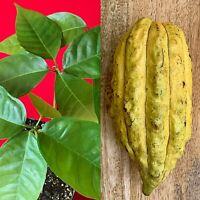 CRIOLLO Theobroma Cacao Cocoa Yellow Pod Chocolate Fruit Tree Potted Plant RARE!