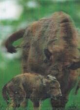 3-d-postal: bisonte europeo con ternero, Alemania