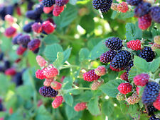 "Wild Blackberry 8 Unrooted 6-12"" Cuttings Fruit, Jelly, Wine! Bush/shrub"
