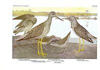 "1936 Vintage FUERTES BIRDS #36 ""SANDPIPER, YELLOW LEGS"" Color Plate Lithograph"
