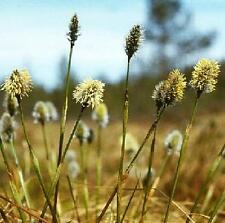 Ornamental Grass Seed - Eriophorum Vaginatum Seeds