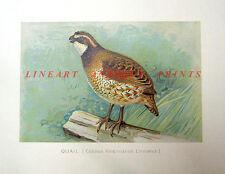 OLD WORLD QUAIL ~ Antique 1902 Wild Game Bird Hunter Outdoorsman Art Print RARE!