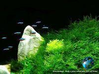 Java Moss # WS Tropical fish tank Live aquarium plant