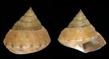 6847 Calliostoma kiiensis - 23,0 mm - f++ - w/o - Japan - RARE!!!