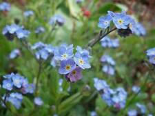 Forget-me-not 400 seeds, plant your own food, tortoise - free post