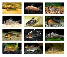 20 (twenty) Assorted Corydoras (Cory Catfish)