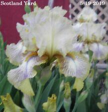 "New listing 1 ""Scotland Yard"" Award Winner Tall Bearded Iris Rhizome"