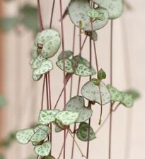 CEROPEGIA WOODII  String of Hearts  Rosary Vine  TUBER with 20cm Plant