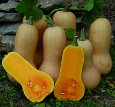 Heirloom Waltham Butternut Squash 30 Seeds Non-GMO USA + FREE Gift & COMB S/H