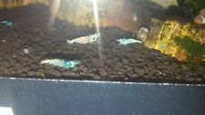 5 x Blue Bolt Shrimp~UK Breed~
