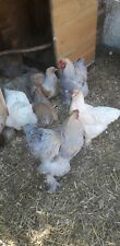 6 Brahma hatching eggs