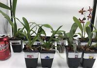 5 Premium Live Orchids (Cattleya, Oncidium,Dendrobium,Vanda,Phalaenopsis)