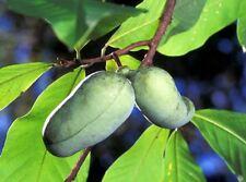 Paw Paw Fruit Bush Edible Garden Asimina Triloba 9cm Pot Superfruit Outdoor
