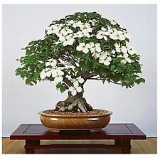 Bonsai 10 Seeds Live Flowering House Plant Indoor Houseplant Best Gift Yard