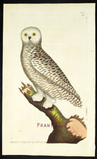 1783,RARE SHAW & NODDER Painted By Hand ENGRAVING STRIX NYCTEA VY7