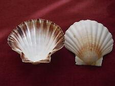 1 Echte Räuchermuschel Jakobsmuschel Schale Muschel Räucherschale Seashell shell