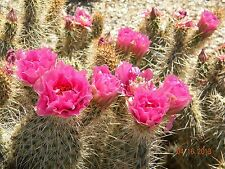 MoJave Prickly Pear (opuntia polycantha) Fushia/MAGENTA flowers cold hardy to 0