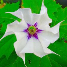 Jimsonweed - Datura - 10x Fresh Seeds - Sacred Shaman Medicinal Rare