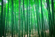 50g Moso Bamboo Hardy Rare Seeds -4 Giant Plant Pubescens Phyllostachys edulis