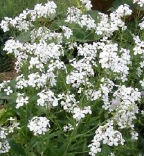 Hesperis matronalis 'Alba' / White Sweet Rocket / 1g (450) seeds