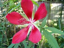 Hibiscus coccinea Texas Star Red Fresh 100 seeds