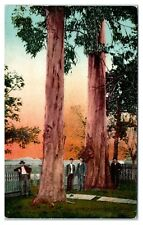 Early 1900s Giant Eucalypti, New Lumber Industry of California Postcard