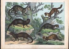 1886 Belle lithographie originale loutre putois fouine animaux gravure