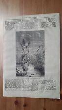1873 Illustrazione Popolare: Nido di Beccafico di Palude Motacilla Arundinacea