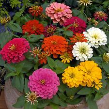 100 Zinnia Flowers Seeds Rare 8 Kind Beautiful Viable Bonsai Plant Potted Garden