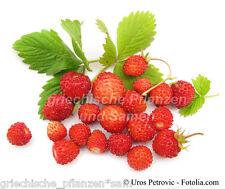 WALD - ERDBEERE * 30 Samen * aromatische kleine Erdbeeren Balkon Topf Kübel