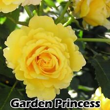 HYBIRD TEA ROSE AUTUMN GROW YELLOW FRAGRANT FLOWER BUSH BARE ROOTED PLANT SHRUB