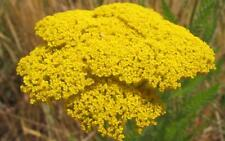Achillea fillipendulina Fern-leaf Yarrow 30 Seed Yellow Perennial Hardy FREEPOST