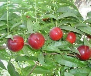 ORGANIC HEIRLOOM ITALIAN NECTARINE DULCE Dwarf Nectarine Tree SEED Sweet Fruit