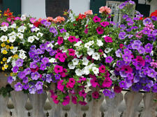 Seeds Petunia Climbing Flower Plants Garden Bonsai Decorative Carpet MIX 100Pcs