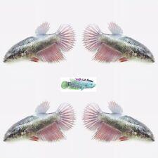 New listing Live Betta Fish - {Crown Tail Female} : Breeder) (43Ctf)